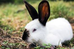 Dzikie zwierzęta w naturze, biały królik na trawie fotografia stock