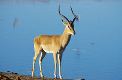 Dzikie zwierzęta Afryka: Gazele Obraz Stock
