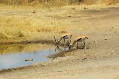 Dzikie zwierzęta Afryka: Gazele Zdjęcia Royalty Free