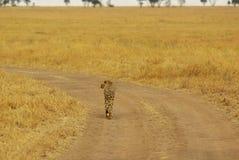 Dzikie zwierzęta Afryka: Gepard Fotografia Royalty Free