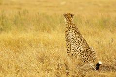 Dzikie zwierzęta Afryka: Gepard Obraz Stock