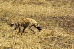 Dzikie zwierzęta Afryka: Hiena Obraz Stock