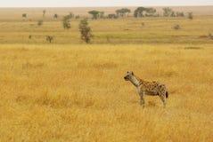 Dzikie zwierzęta Afryka: Hiena Zdjęcia Stock