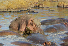 Dzikie zwierzęta Afryka: Hipopotamy Fotografia Stock