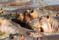 Dzikie zwierzęta Afryka: Hipopotamy Zdjęcie Stock