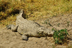 Dzikie zwierzęta Afryka: krokodyl Zdjęcia Stock