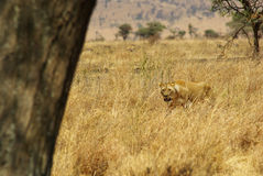 Dzikie zwierzęta Afryka: Lwy Zdjęcie Stock