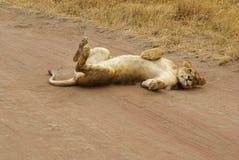 Dzikie zwierzęta Afryka: Lwy Zdjęcia Stock