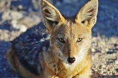 Dzikie zwierzęta Afryka: szakal Zdjęcie Stock