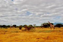 Dzikie zwierzęta na safari Zdjęcia Royalty Free