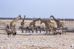 Dzikie zwierzęta przy wodopojem w Namibia Obraz Stock