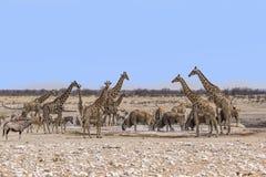 Dzikie zwierzęta przy wodopojem w Namibia Obraz Royalty Free