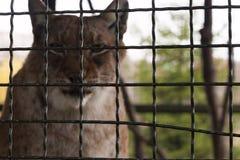 Dzikie zwierzę w klatce Obrazy Stock