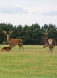 dzikiego 3 jelenia Fotografia Royalty Free
