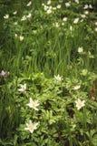 Dzikiego anemonowego nemorosa lub drewnianego anemonu biali kwiaty Fotografia Stock