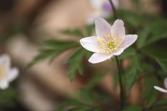 Dzikiego anemonowego nemorosa lub drewnianego anemonu kwiat Fotografia Royalty Free