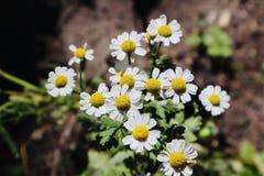 Dzikiego chamomile kwitnienie podczas lata i dorośnięcie zdjęcia royalty free