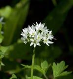 Dzikiego czosnku kwiat Fotografia Stock