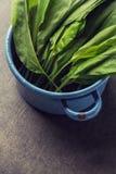 Dzikiego czosnku liście w błękitnym garnku na popielatym kamiennym tle, zdrowy styl życia, sezonowy wiosny ziele dla kuchni, alli Obrazy Stock