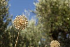Dzikiego czosnku roślina Obraz Royalty Free