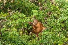 Dzikiego dziecka Orangutan łasowania Czerwone jagody w lesie Borneo Malezja Fotografia Royalty Free