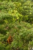 Dzikiego dziecka Orangutan łasowania Czerwone jagody w lesie Borneo Malezja Obrazy Stock