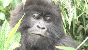 Dzikiego goryla Rwanda Afryka zwierzęcy tropikalny las zbiory wideo