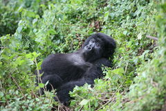 Dzikiego goryla Rwanda Afryka zwierzęcy tropikalny las Obrazy Stock
