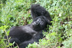Dzikiego goryla Rwanda Afryka zwierzęcy tropikalny las Obrazy Royalty Free