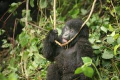 Dzikiego goryla Rwanda Afryka zwierzęcy tropikalny las Zdjęcie Stock