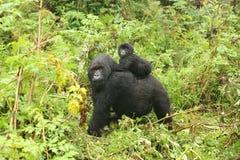 Dzikiego goryla Rwanda Afryka zwierzęcy tropikalny las Zdjęcia Stock