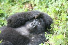 Dzikiego goryla Rwanda Afryka zwierzęcy tropikalny las Fotografia Stock