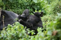 Dzikiego goryla Rwanda Afryka zwierzęcy tropikalny las Obraz Royalty Free