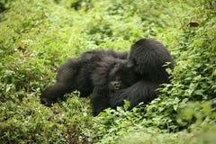 Dzikiego goryla Rwanda Afryka zwierzęcy tropikalny las Zdjęcie Royalty Free