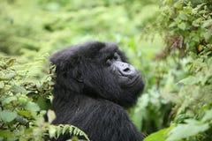 Dzikiego goryla Rwanda Afryka zwierzęcy tropikalny las Obraz Stock