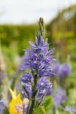 Dzikiego hiacyntu kwiat Obraz Stock