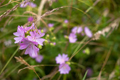 Dzikiego Hollyhock kwiatu łąka Zdjęcie Royalty Free