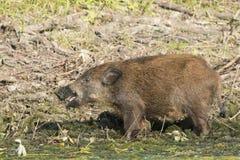 Dzikiego knura Cubs gmerania jedzenie na wodnym brzeg Obraz Royalty Free