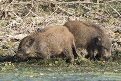 Dzikiego knura Cubs gmerania jedzenie na wodnym brzeg Fotografia Stock