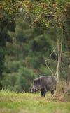 Dzikiego knura foraging Zdjęcie Royalty Free