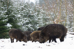 Dzikiego knura grupa w zimie Zdjęcie Stock
