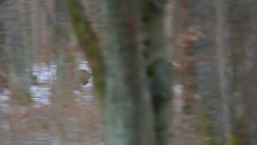 Dzikiego knura grupy bieg na lesie zdjęcie wideo