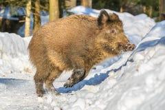 Dzikiego knura pozycja w śniegu w zimie, Obrazy Stock