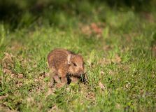 Dzikiego knura prosiaczka odprowadzenie na trawie Fotografia Stock