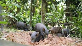 Dzikiego knura prosiaczki Kopie ziemię W Lasowej dżungli Tajlandia 4K zdjęcie wideo