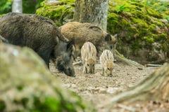 Dzikiego knura rodzinny karmienie themselves w lesie na suchej ziemi zdjęcia royalty free