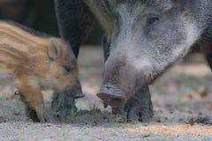 Dzikiego knura świnie Fotografia Royalty Free