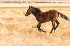 Dzikiego konia bieg Obrazy Stock
