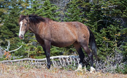 Dzikiego konia Grulla zatoka i szarość barwili Kobyliego odprowadzenie wzdłuż Sykes grani nad Teacup puchar w Pryor górach w Mont Obrazy Royalty Free