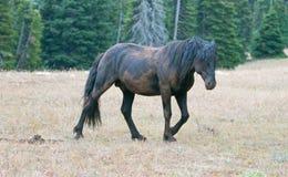 Dzikiego konia mustang - Czarny zespołu ogier który właśnie staczał się w brudzie w Pryor gór Dzikiego konia pasmie w Montana usa Zdjęcia Stock